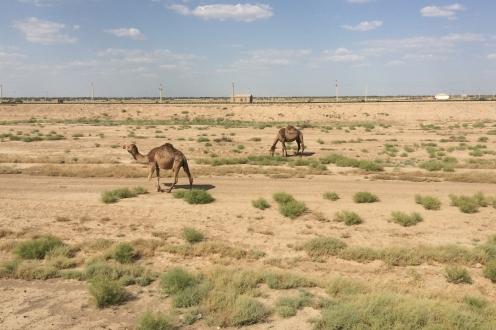 Kamel turkmen